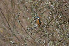 Kingfisher Kingfisher, Nature Photos, Bird, Explore, Photography, Animals, Image, Photograph, Animales