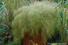 A mature bamboo muhly (Muhlenbergia dumosa) in a planter, highlighting this grass's graceful, cascading form