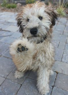 Irish Soft Coated Wheaten Terrier This little guy is Phil Connors - 1.14.15