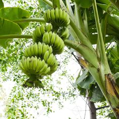 banana trees in the tropical rainforest - Google Search