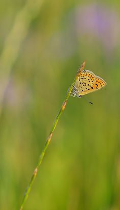 Bläuling Brauner Feuerfalter Falter Insekt Schmetterling