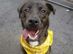 TO BE DESTROYED 4/22/14 Manhattan Center -P  My name is CHASE. My Animal ID # is A0996464. I am a male br brindle and white dutch shepherd mix. The shelter thinks I am about 1 YEAR   I came in the shelter as a OWNER SUR on 04/12/2014 from NY 10466, owner surrender reason stated was PERS PROB.