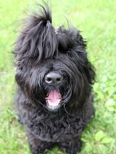 these dogs can be lovable goofballs! Standard Schnauzer, Giant Schnauzer, Terrier Dog Breeds, Terriers, All Dogs, Best Dogs, Dog Love, Puppy Love, Black Russian Terrier