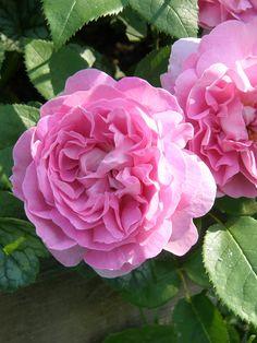 'Mary Rose' |  Shrub.  English Rose Collection. Bred by David C. H. Austin (United Kingdom, 1983) | Flickr -  © Mimmi Elg