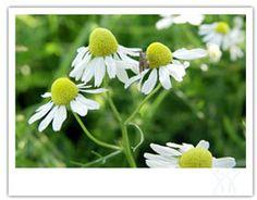 Herbology 101 - Herbal Remedies and Herb Information