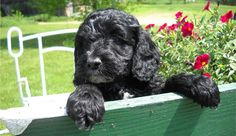 Adorable black Cockapoo puppy is a first generation mix of a pure bred American Cocker Spaniel and a pure bred Miniature Poodle.