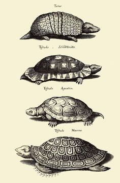 Antique Turtle Print Art, Turtle Wall Art Home Decor, Turtle Print, Reptile Biology Poster, Animals Art Print Biology Poster, Biology Art, Bird Prints, Wall Art Prints, Botanical Illustration, Illustration Art, Botanical Drawings, Art Sur Toile, Merian