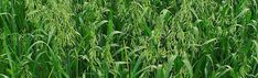Great dual purpose grain Can be used for Cover Crop or feed Purpose, Grains, Herbs, Canning, Cover, Herb, Home Canning, Seeds, Korn