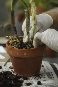 Orchid Repotting: When And How To Repot An Orchid Plant - Orchids are relatively easy to grow with the right conditions, but almost every grower gets nervous at the thought of repotting an orchid. Learn more in this article.