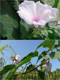 Dhol Kolmi Flower