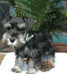 """Click visit site and Check out Best """"Miniature Schnauzer"""" T-shirts. This website is outstanding. Tip: You can search """"your name"""" or """"your favorite shirts"""" at search bar on the top. Schnauzers, Miniature Schnauzer Puppies, Schnauzer Puppy, Beagle Puppy, Black Schnauzer, English Cocker Spaniel, Cute Puppies, Dogs And Puppies, Adorable Dogs"""
