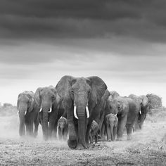 The beautiful Matriarch of Amboseli knew how to calm the herd and allow me to get close.