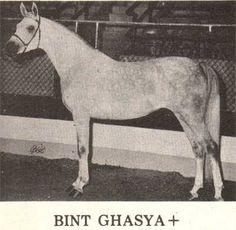 BINT GHASYA 1968 grey mare (Shahriyar x Ghasya, Al-Marah Safir) Dam of 4 registered purebreds   Legion of Merit winner  1975 Region 13 Top Five Park Horse, Top Five Halter Mare, Top Five Formal Driving Horse