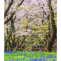【japanpixels】さんのInstagramをピンしています。 《-  My Cherry Blossom Spots  - Chiba Park(千葉公園), Chuo-ku(中央区), Chiba City(千葉市), Chiba(千葉県), Japan - Photo : April 2016 - There are approximately 660 cherry trees and some beautiful Musucaries (grape hyacinth) planted in the vast area of 160,000 square meters. These flowers can be enjoyed from late March to early April :D - #oldpic #photographer  #sakura #spring #cherryblossom #cherryblossoms #musucari #grapehyacinth #nature #flower #flowers #park…