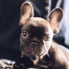 Biscuit The Frenchie #buldog