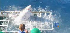 WebBuzz du 14/10/2016: Un requin blanc parvient à rentrer dans une cage d'observation-Great White Shark Cage Breach Accident  Plus de peur que de mal pour ce plongeur sorti d'une cage d'obervation visité par une grand requin blanc  http://www.noemiconcept.com/index.php/en/departement-informatique/webbuzz-tech-info/207500-webbuzz-du-14-10-2016-un-requin-blanc-parvient-%C3%A0-rentrer-dans-une-cage-dobservation-great-white-shark-cage-breach-accident.html