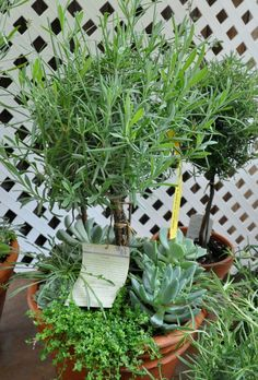 rosemary topiary under~planted with succulents...