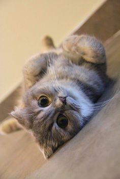Funny Cat Memes, Funny Cats, Funny Animals, Kittens Cutest, Cats And Kittens, Cute Cats, Pretty Cats, Beautiful Cats, All Cat Breeds