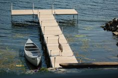 Great Blue Heron on a cedar dock on Chaumont Bay off Lake Ontario.