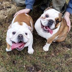 English Bulldog Best Friends! #bulldogwrigley #wrigleythebulldog