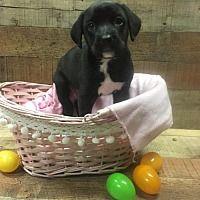Fort Wayne, Indiana - Boxer. Meet Petunia, a for adoption. https://www.adoptapet.com/pet/21407574-fort-wayne-indiana-boxer-mix