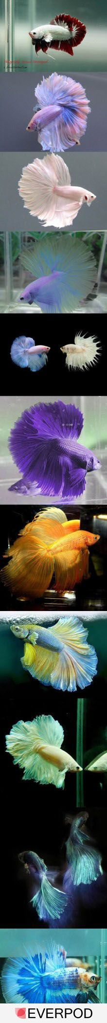 Siamese fighting fish : didn't know they're in many different colors