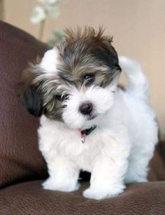 cute teacup puppies Some of the things I respect about the Funny Havanese Dog Super Cute Puppies, Cute Little Puppies, Small Puppies, Cute Little Animals, Cute Dogs And Puppies, Cute Funny Animals, Doggies, Small Dogs, Little Dogs