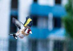 La splendeur du Chardonneret en plein vol wooow  روعة الحسون أثناء الطيران  https://www.youtube.com/+bilelseg https://www.facebook.com/ChardonneretBilelKios/ https://www.instagram.com/bilelkios/ #الحسون #المقنين #القرديل #Chardonnerert #Canari #Mulet #MuletOiseau #Oiseau #Birds #Animaux #Goldfinch #Jilguero #Cardellino #καρδερίνα #Sakakuşu #Chien #Chat #Pigeon #Cheval #Science #Reptile #Poisson #Plantes #Hibiscus #Alger #Algérie #Tunisie #Maroc #ChardonneretGolden #BilelKios