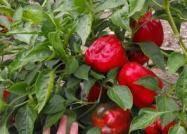 Red Bell Pepper Seeds