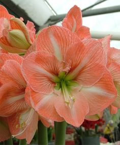 Amaryllis Faro - Royal Dutch Hybrid Single Amaryllis - Amaryllis - Flower Bulbs Index