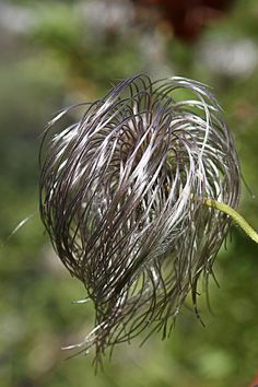 ˚Clematis seed head Seed Pods, Clematis, Seeds, Flowers, Plants, Art, Flora, Kunst, Plant