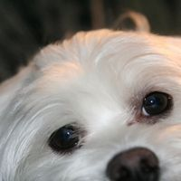 Tear stains--the brown, streaky stains in the corners of and under some dogs' eyes--are caused by pigment, yeast and bacteria buildup. These stains are most obvious on white dogs, like Maltese. Wipe away tear stains using at-home techniques and preventive care to keep your white dog looking its best.