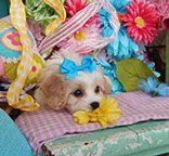 www.cavachonsbydesign.com Cavachon puppies for sale, Cavachon, Cavachons, Cavachon dog, Cavachon pups, Cavachon pup, Cavachons dogs for sale, Cavachon puppies, Cavachons for sale, Cavachon breeder, Cavachon breeders, Bichon Cavachon Puppies, Dogs For Sale, Animals, Design, Animales, Animaux, Animal, Animais