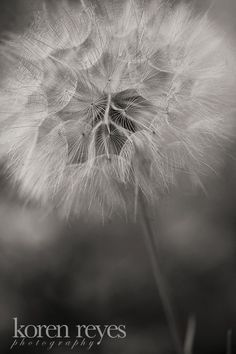 Giant dandelion, black and white, close-up, going to seed
