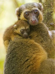 Bamboo Lemur with young. The Golden Bamboo Lemur (Hapalemur aureus) is Critically endangered and endemic to southeastern Madagascar. Baby Exotic Animals, Exotic Pets, Animals And Pets, Cute Animals, Wild Animals, Primates, Mammals, Amazing Animals, Interesting Animals