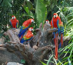 Fun Facts about Parrots: There are more than 300 species of parrots with a great diversity in color and size.  Some parrots can even mimic human speech. Macaws, Amazon parrots, cockatiels, parakeets, and cockatoos are the most popular pet parrots. Parrots range in length from 3.5 in (8.7cm) to 40 in (100 cm). They are omnivores and eat a variety of fruit, nuts, seeds as well as insects. Parrots can live up to 80 years in the wild & captivity.