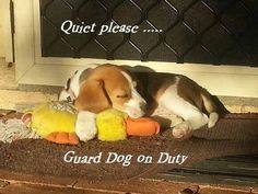 Guard beagle. Walk softly and carry a big biscuit...