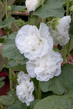 Alcea rosea, WHITE, Rare Flowers seed- Double flowers, Hard to find color ,Great For Fence,wall or Back border- Reseed come back every Year.