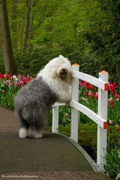 Come on it's spring ! - Our Old English Sheepdog Sophie at a littyle brigde at the Keukenhof. Baby Dogs, Pet Dogs, Dog Cat, Sheep Dogs, Doggies, Beautiful Dogs, Animals Beautiful, Cute Animals, Cute Puppies