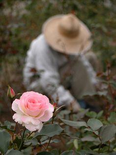 Mon Coeur Est Une Rose