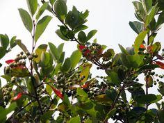 アロニアですの。 丸々とした実と紅葉した葉が見上げると目に飛び込んできますの。#札幌 2012年7月21日撮影
