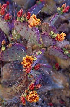 Purple prickly pear cactus in bloom in Arizona
