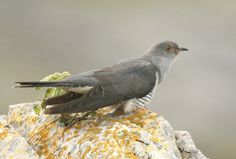 Common Cuckoos are easily the most famous fratricides in the Animal Kingdom. Description from listverse.com. I searched for this on bing.com/images