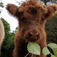 Cute Baby Cow, Baby Cows, Cute Cows, Cute Babies, Baby Farm Animals, Baby Elephants, Fluffy Cows, Fluffy Animals, Animals And Pets