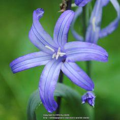 Lily-of-the-Altai ~ Ixiolirion tataricum