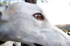 Blaze (the sweet Greyhound) by jillbeninato, via Flickr