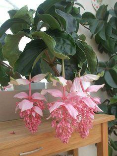 """Medinilla magnifica """"Malaysia Orchid"""