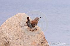 This beautiful Wren, very lovely, beautiful plumage, sounds beautiful.
