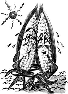 """""""Corn sex is complicated"""" - short but hard-hitting piece on climate change and extreme weather from the New Yorker"""
