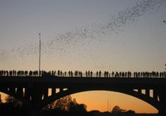 Watch the bats from the Congress Ave. bridge    http://www.realtyaustin.com/relocation/congress-bridge.php
